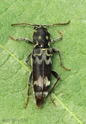 Longhorned Beetle Xylotrechus colonus female
