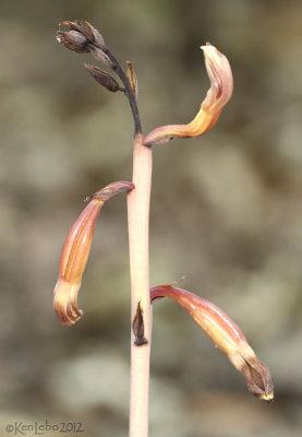 Hexalectris arizonica