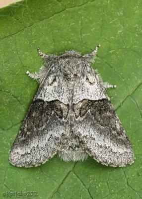 Common Gluphisia Moth Gluphisia septentrionis #7931