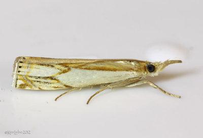 Double-banded Grass-veneer Crambus agitatellus #5362