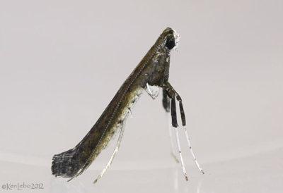 Sumac Leafblotch Miner Moth Caloptilia rhoifoliella #0630