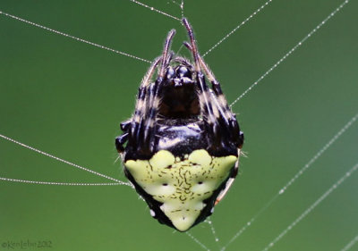 Orb weaver Verrucosa arenata