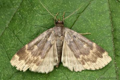 Glossy Black Idia Moth Idia lubricalis #8334