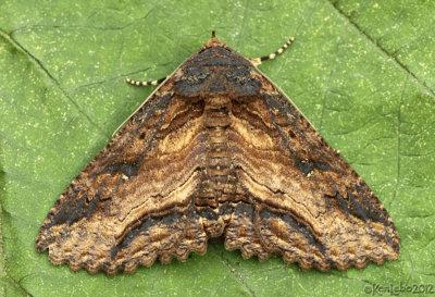 Lunate Zale Moth Zale lunata #8689