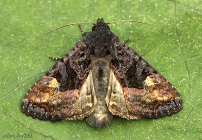 American Angle Shades Moth Euplexia benesimilis #9545