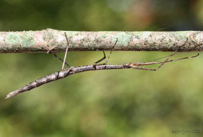 Northern Walkingstick female