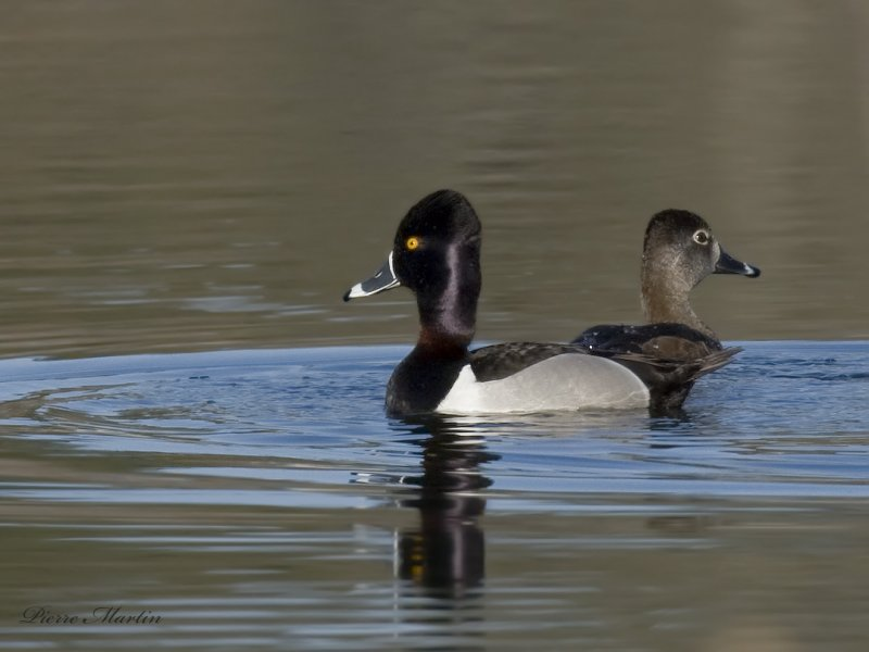 fuligulle à collier - ring necked duck