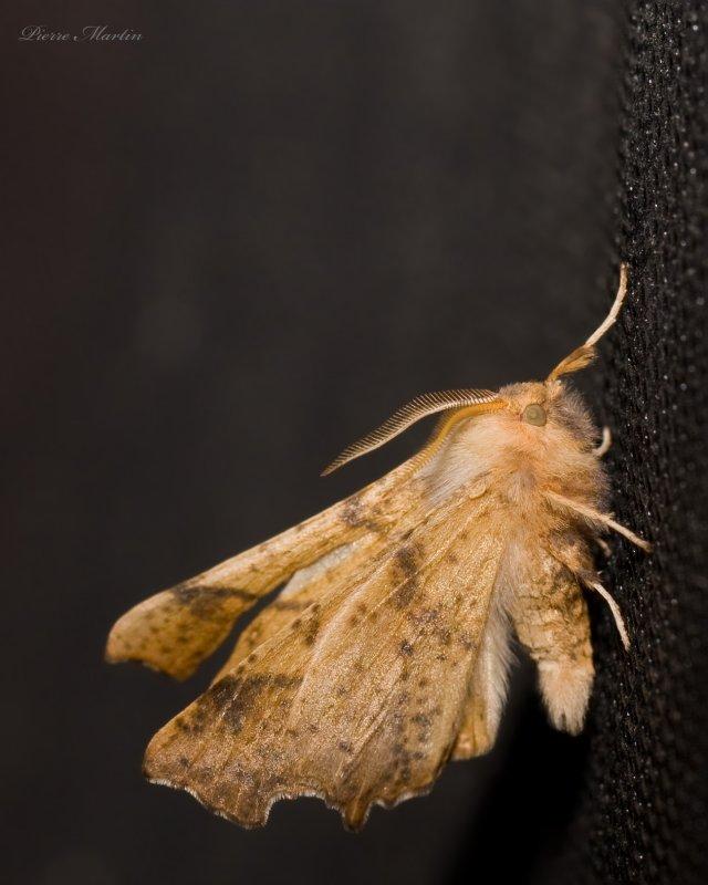 Arpenteuse nouée - Maple Spanworm Moth - Ennomos magnaria (6797)