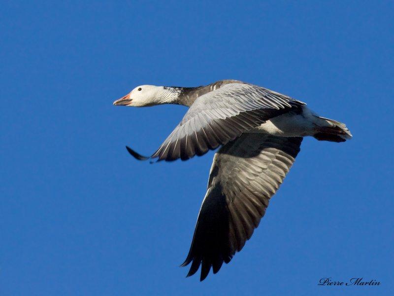 oie des neiges  bleu - snow goose blue