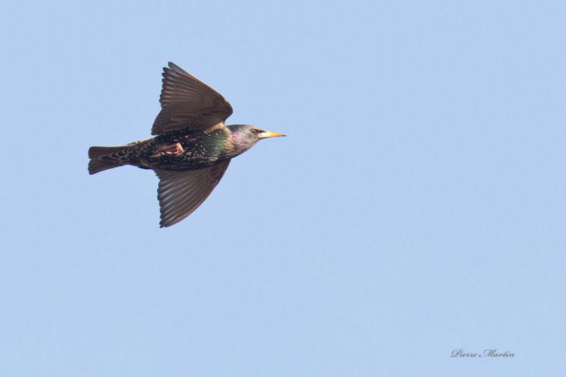 étourneau sansonnet - american starling