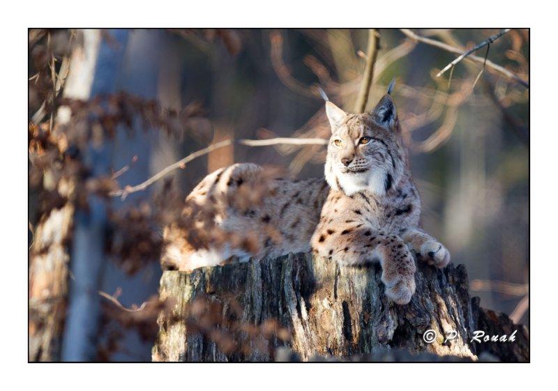 Dolce Vita - Lynx - 5077