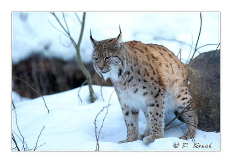 Le lynx marque son territoire - 5152