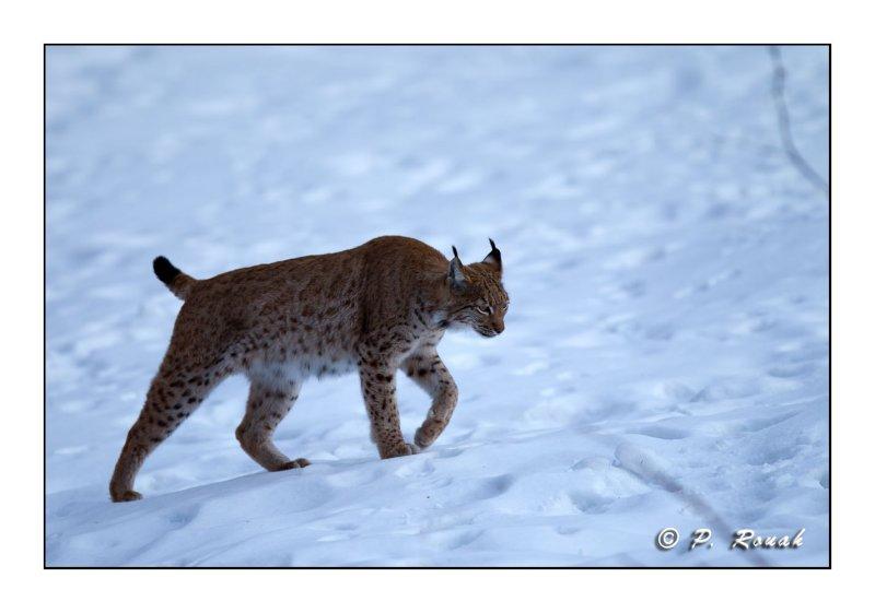 Lynx - 5213