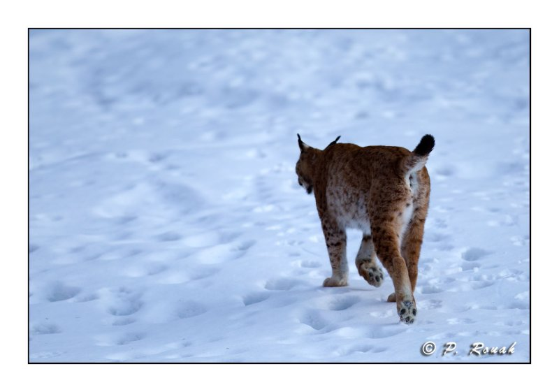 Lynx - 5222