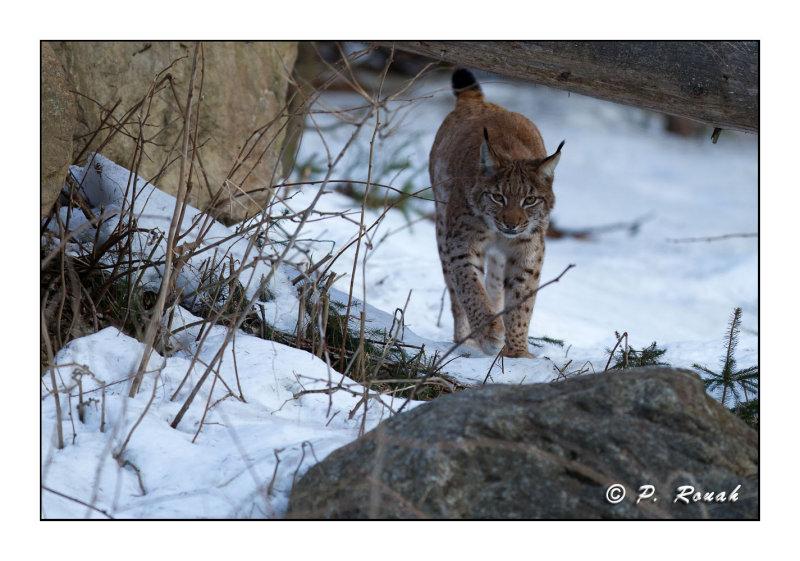 Lynx à laffut - 5245