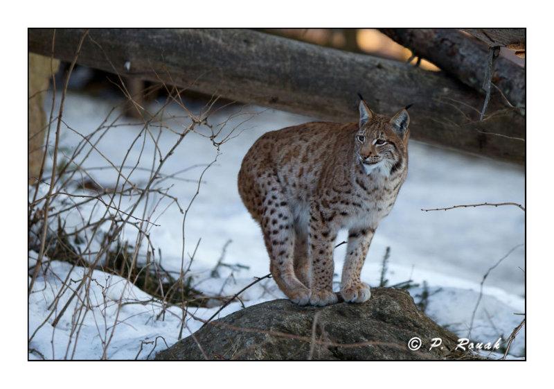 Lynx - 5272