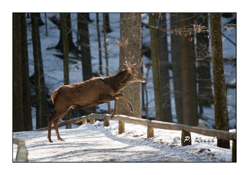 Le cerf saute la barrière - 5184