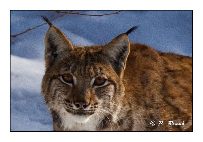 Portrait de Lynx - 4987