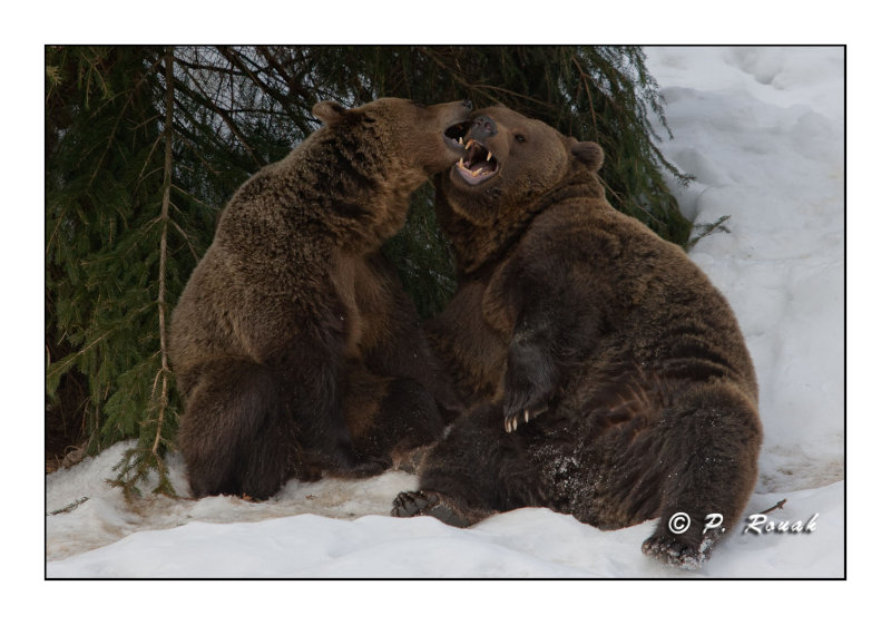 More kissing - Bears - 5278