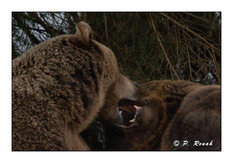 Bears kisses - 5281