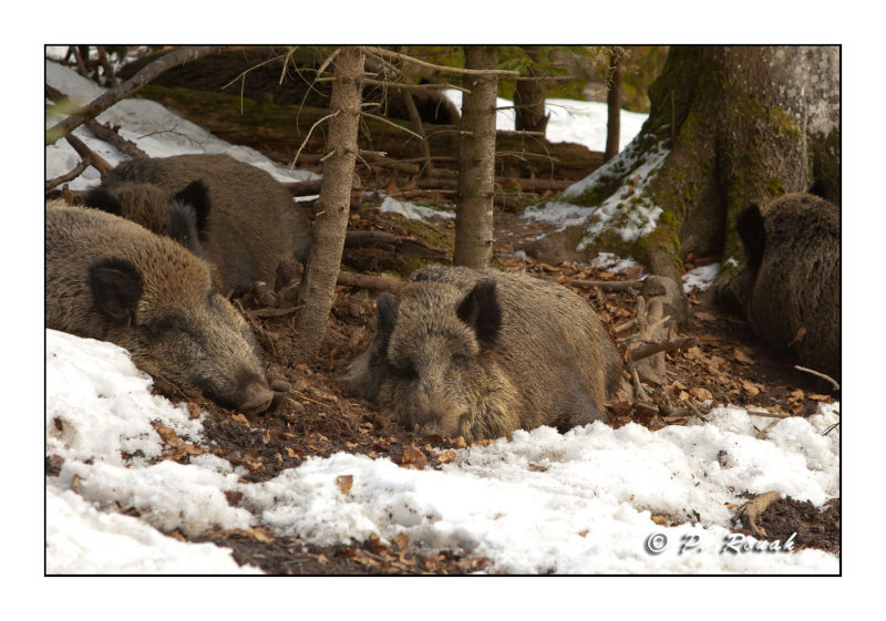Boars in the snow - 5316