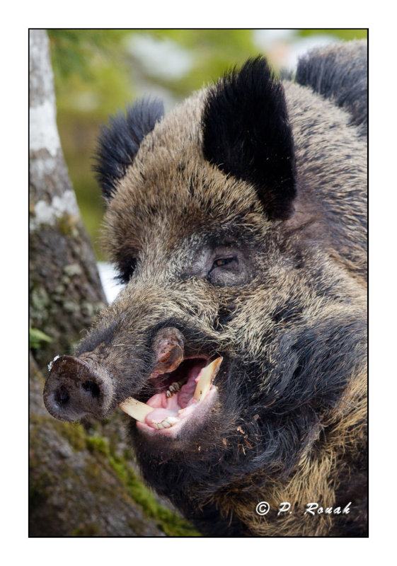 Dentist for the Boar - 5766