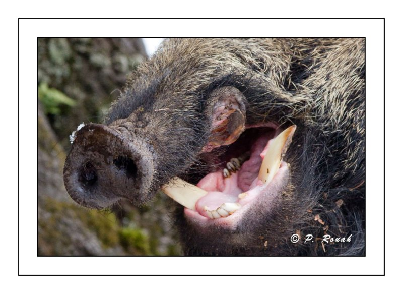 Wild boars mouth - 5766