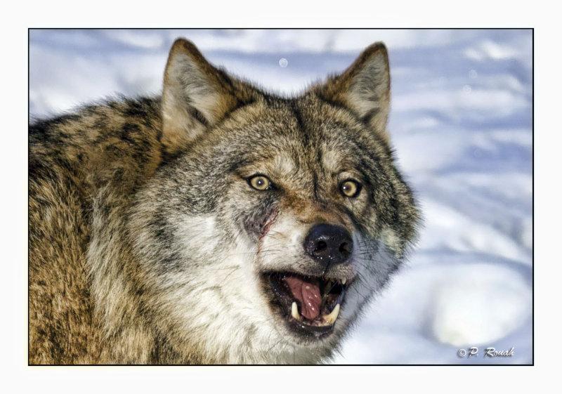 Mean Wolf - 5530