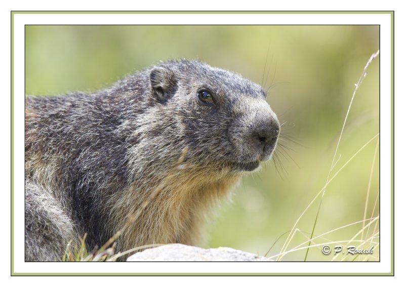 Marmotte (groundhog) - 04085