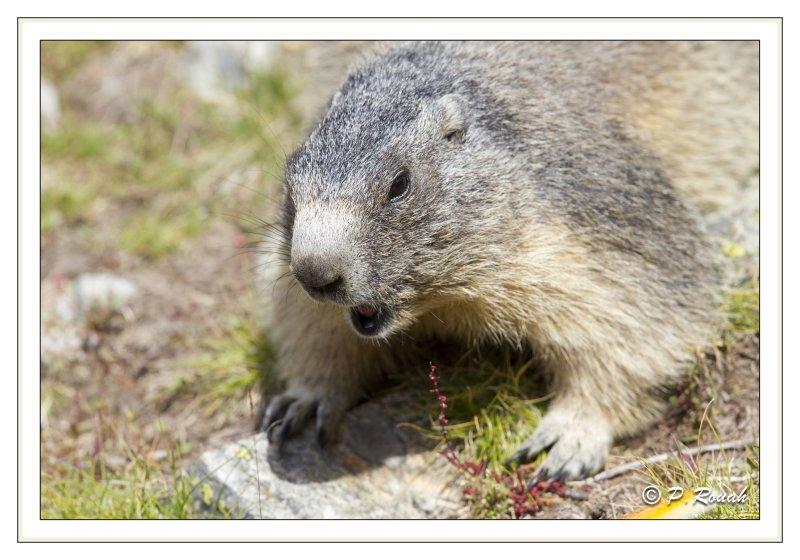 Coquine la marmotte - 04224