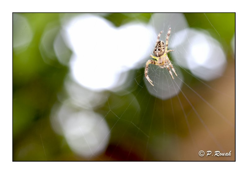 Spider on the lookout - 7765