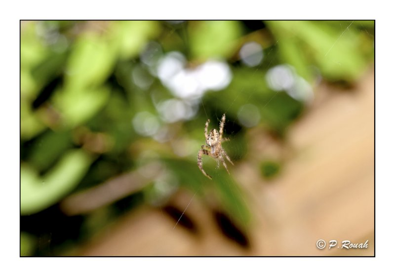 Spider on the string - 7770