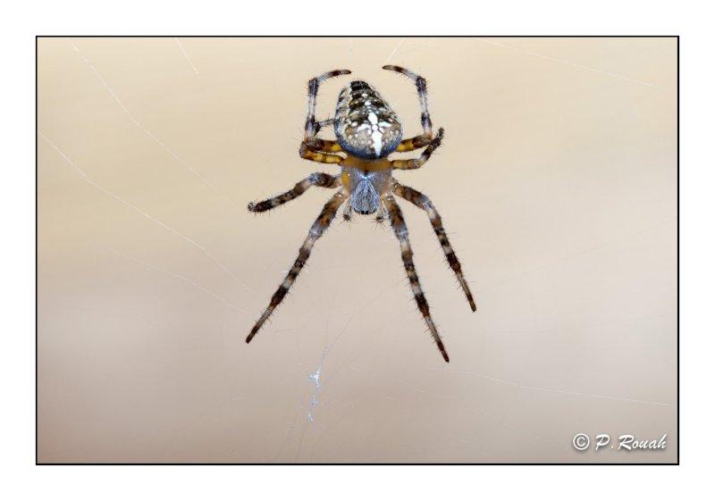 Spider portrait - 7832