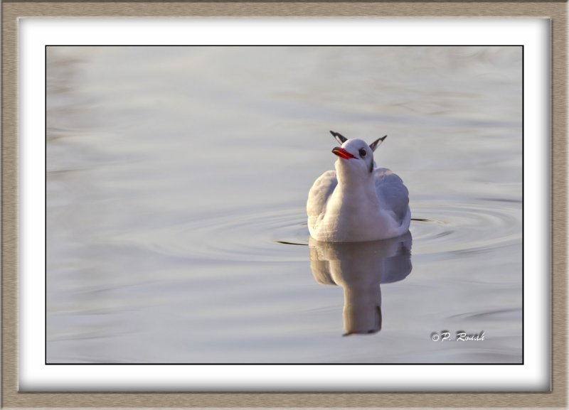 Mouette rieuse - 4707