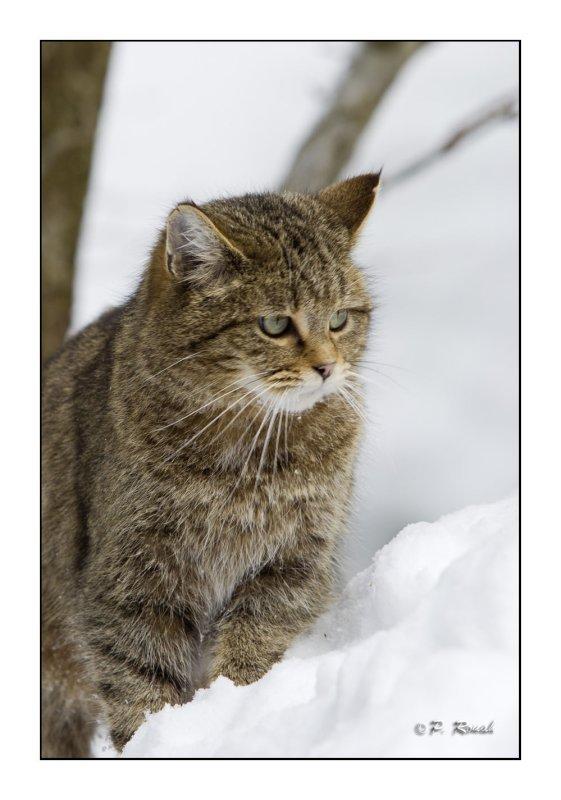 Wildcat - 7115