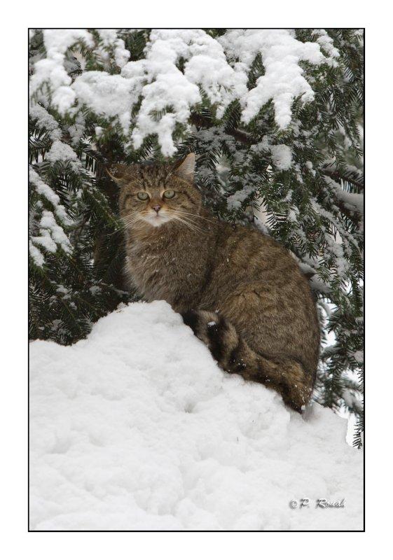 The Wildcat under the snowed pine tree- 0744