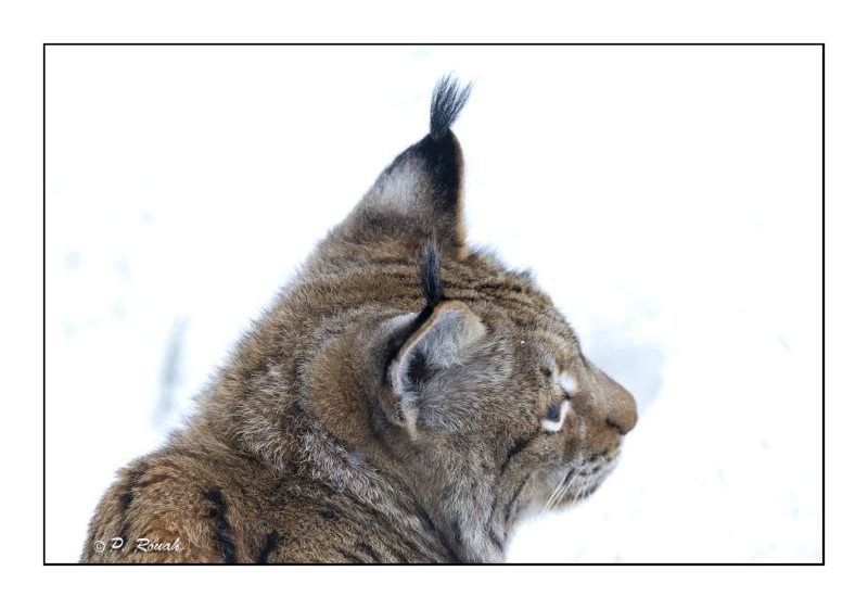 Up close to the lynx - 5623