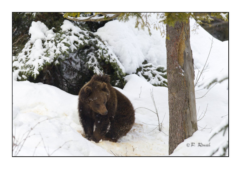 Cub in winter - 6441
