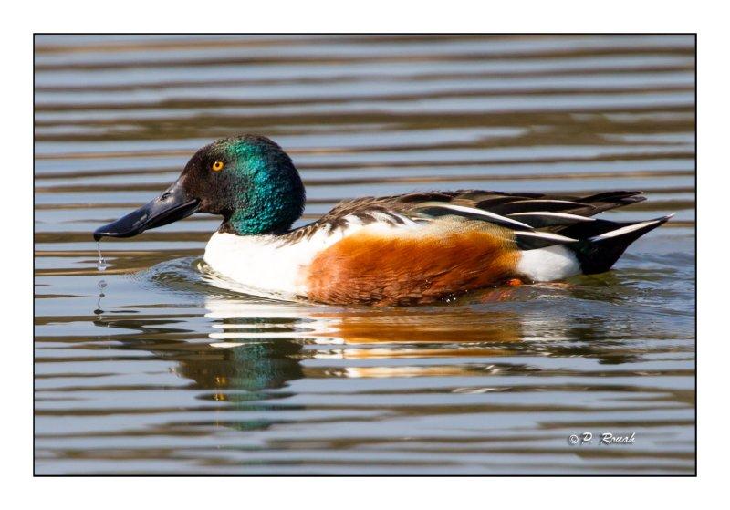 Ducky ! - 7898