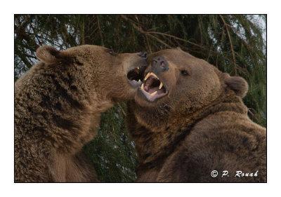 Bears hugging - 5279