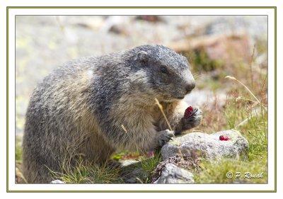 Marmotte & Cranberries - 04142