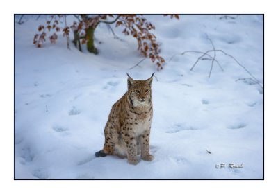 Lynx in the snow - 1019