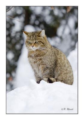 Wildcat - 7099