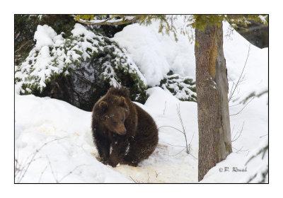 Cub in winter - 6441
