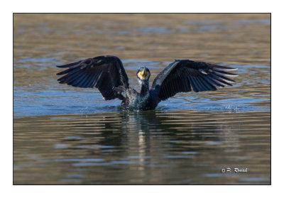 Le spectacle du cormoran - 7792