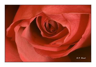 Coeur de rose rouge