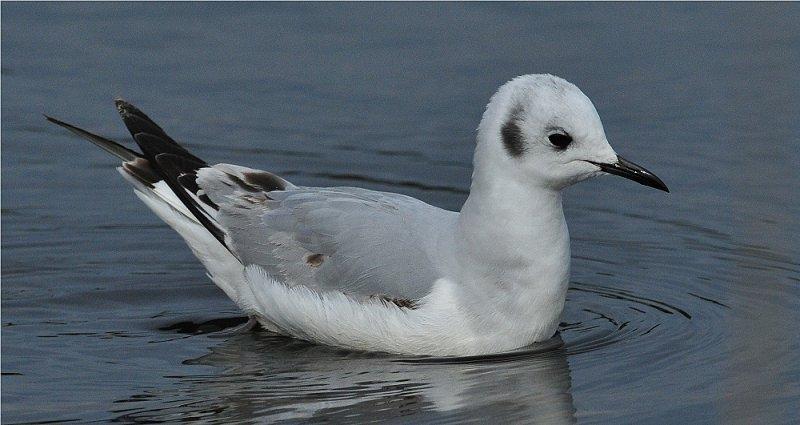 Bonapartes Gull (Larus philadelphia)