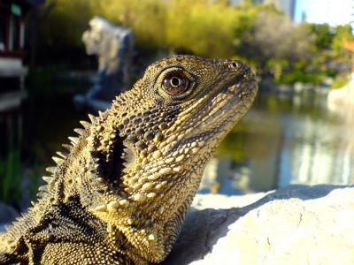 Sharp Macro of Chinese Dragon Lizard