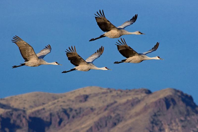 Sandhill Cranes_1003.jpg