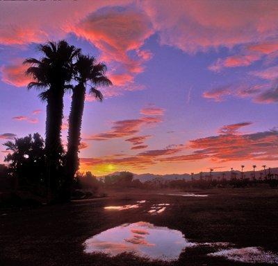 Desert palm trees